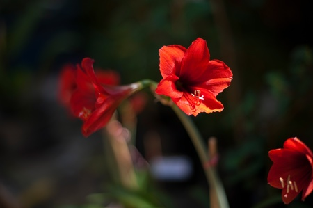 spoted: Red Lily flower in a plant pot isolated against in garden
