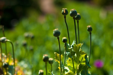bud of opium flower ,poppy  in open landscape , Thailand. Stock Photo