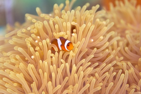 A Clown Anemonefish swimming among the tentacles of its sea anemon Stock Photo - 13615393