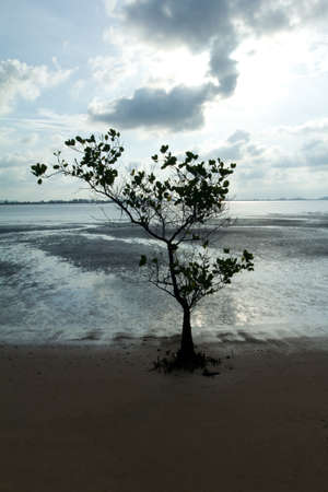 Lonely mangrove tree  on Beach at thailand photo