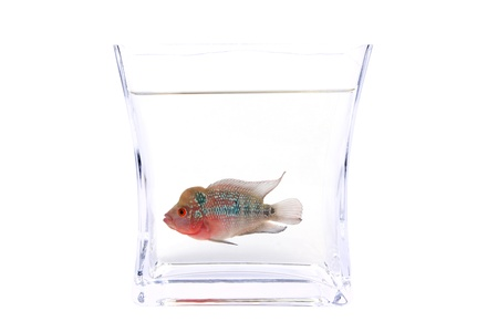 Flowerhorn Cichlid fish in the aquarium isolated on White background. Stock Photo - 13933532