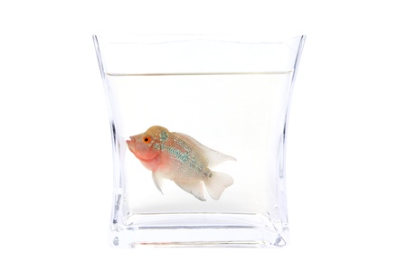 cichlasoma: Flowerhorn Cichlid fish in the aquarium isolated on White background.
