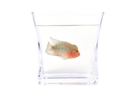 Flowerhorn Cichlid fish in the aquarium isolated on White background. photo
