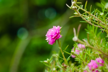 Little Common flowers pink. Many flowers small, colorful pink flowers bloom so beautifully. photo