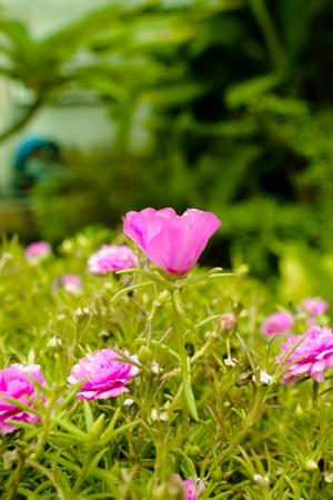 Little Common flowers pink. Many flowers small, colorful pink flowers bloom so beautifully. Stock Photo - 14455674