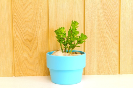 Collection of daisy tree in blue flowerpot on wood background