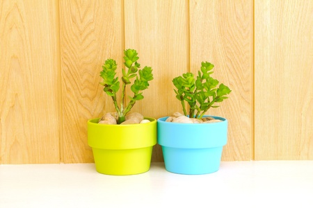 Collection of daisy tree in  green flowerpot and blue flowerpot  on wood background  photo