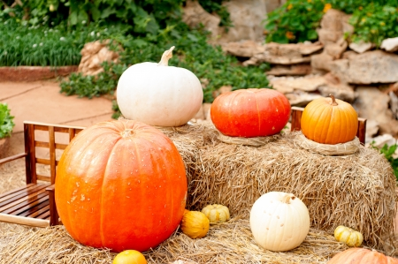 Pumpkins  Cucurbita moschata  picked and set in straw to cure pr to being placed in winter storage  Stock Photo - 18124760