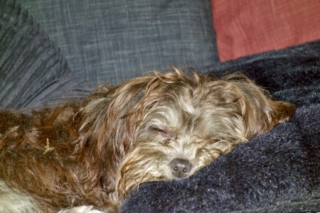 bichon bolognese:  Sleepy Head               Stock Photo