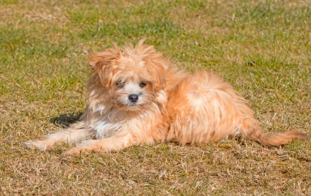bichon bolognese: Cute Puppy Stock Photo