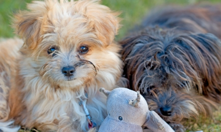 bichon bolognese: Playful Puppies Stock Photo