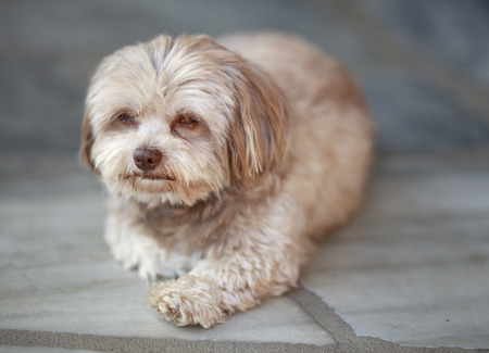 Young Russian Bolonka Dog