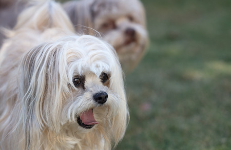 Bolonka dogs with long hair, short snout, and dark eyes 版權商用圖片
