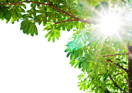 Sunny and green leaft isolated on white background photo