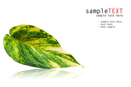 Green leaf reflexs on white background Stock Photo - 8398558