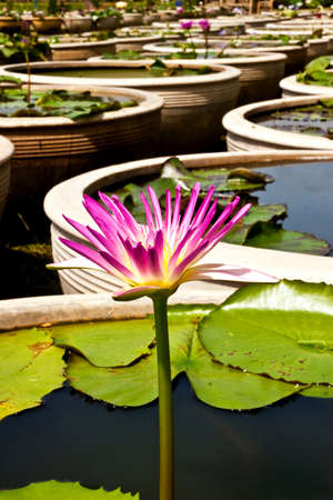 Beautiful pink water lily in the well photo
