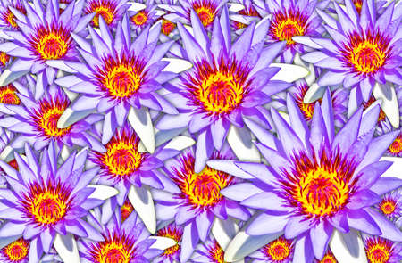 White&Purple water lilies used for background Stock Photo - 8656109