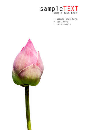Pink lotus isolated on white