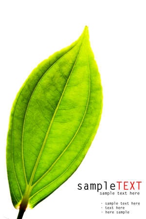 Green leaf close up isolated on white Stock Photo - 8830255