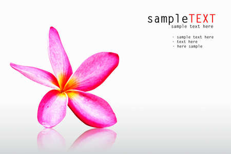 Pink frangipani isolated