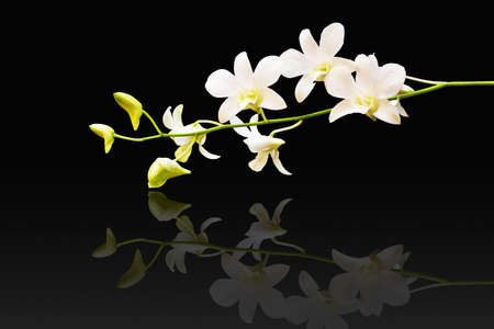White orchid isolated on black photo