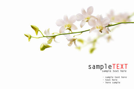 orchid branch: White orchid isolated on white