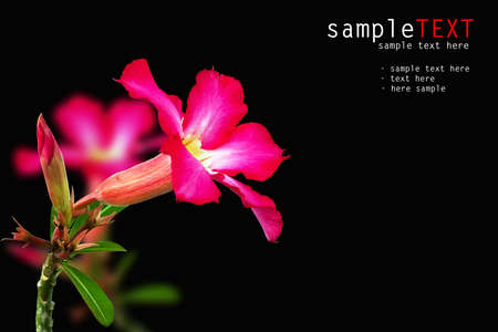 Pink impala lily on black photo