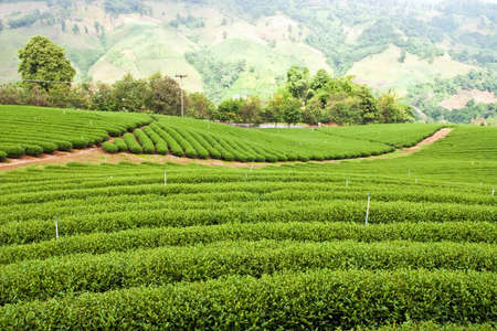tea estates: Tea farm in north of Thailand