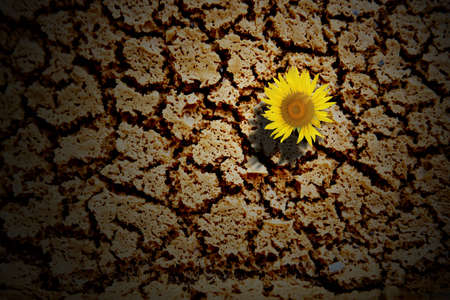 Sunflower on crack dry soil background photo