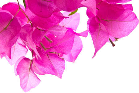 Pink Bougainvillaea isolated on white
