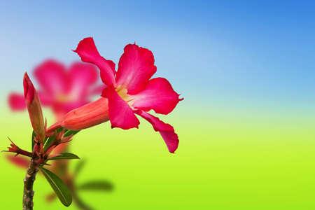 Pink impala lily on background photo