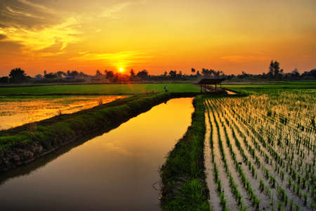タイでの緑の米農場に沈む夕日