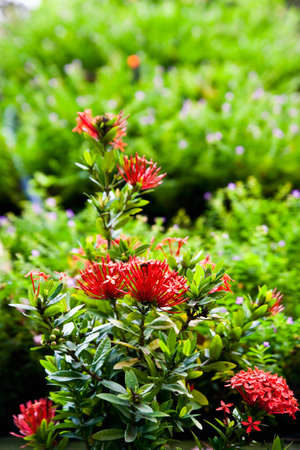 Red ixora flower and green leaf Stock Photo
