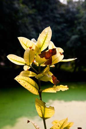 stamin: Fresh yellow ixora flower