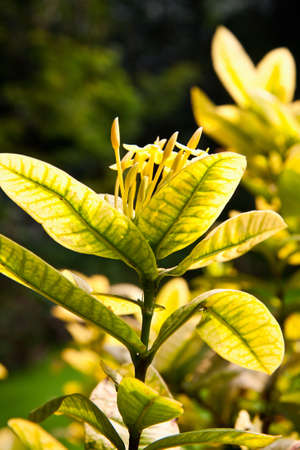 Fresh yellow ixora flower