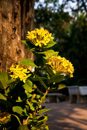 Yellow lxora flower