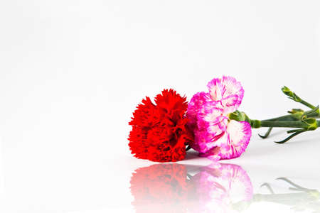 Pink and red carnation flower isolate on white background photo