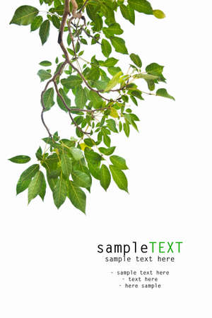 botanical branch: Green leaves isolate on white background