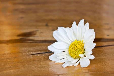 White chrysanthemum flower on wooden background photo
