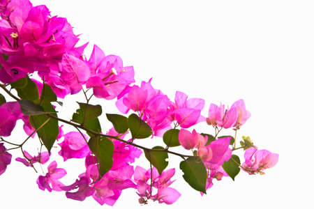 Bunch of pink bougainvillaea flower isolate on white
