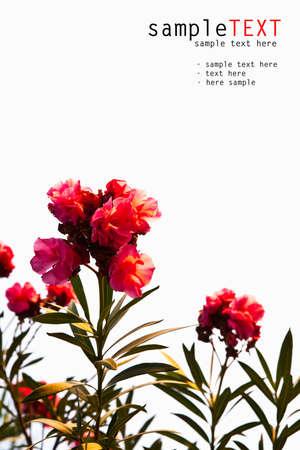 Rode bloem isoleren op wit