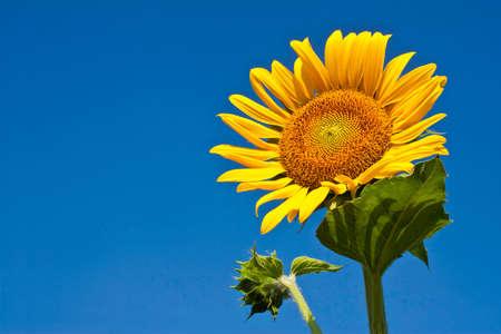 Beautiful yellow sunflower and blue sky background photo
