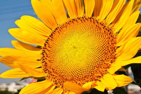 Closeup beautiful yellow sunflower photo