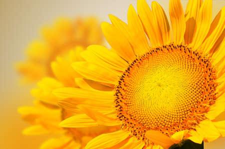 Yellow sunflower close up Stock Photo
