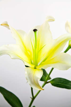 Flower lily closeup photo