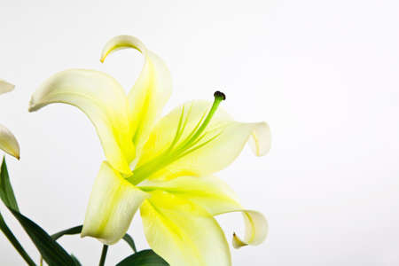 Flower lily on white photo