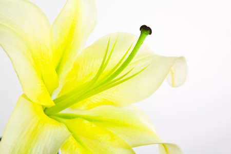 Closeup lily flower isolated on white background photo