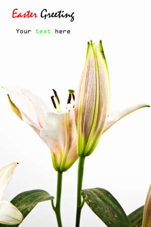 Flower lily isolated on white background photo