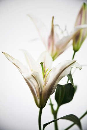Beautiful lily flower photo