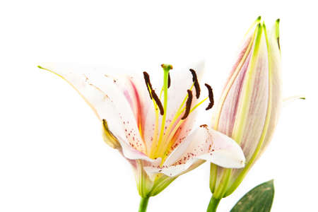 water lilly: Flower lily isolated on white Stock Photo